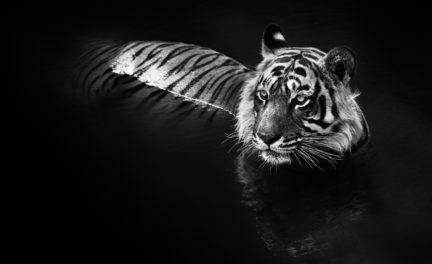 The Killer, 2013. Photography by David Yarrow. (Courtesy of Chali-Rosso Art Gallery)