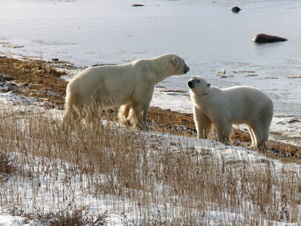 Will Canada's Polar Bears Disappear with Declining Sea Ice?